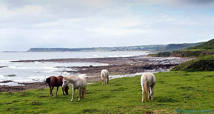 Horses near Horton on the Wales Coast Path between Pennard Burrows and Rhossili photographed by Charles Hawes. Walking in Wales.