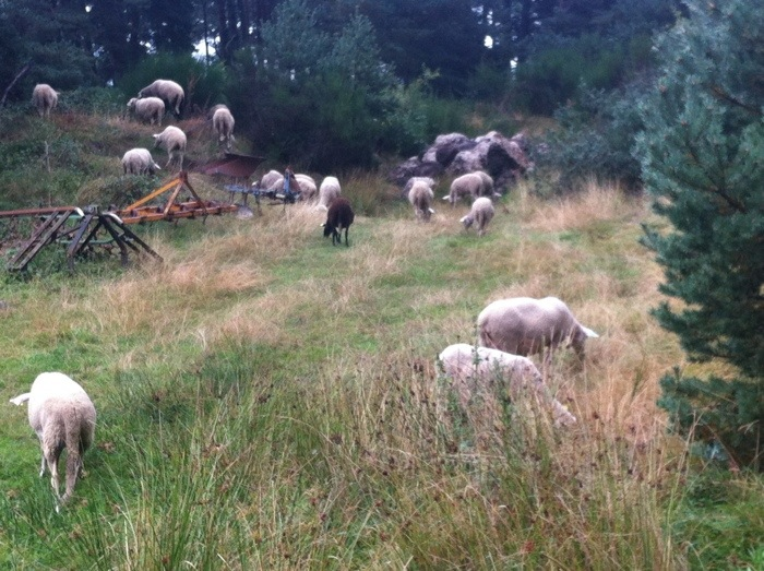 Sheep on the path on The way of St James between St Private D'Allier and Sauges, photographed by Charles Hawes