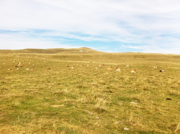 Extensive views with Aubrac cattle in the fields on The Way of St James between Nasbinals and Chely d'Aubrac on The Way of St James photographed by Charles Hawes. Route st Jacques. GR65