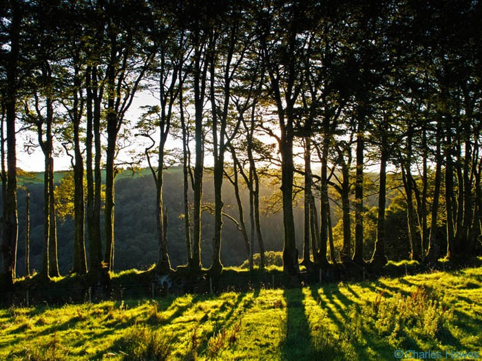 Beech hedge grown out as a line of trees above River Barle in Exmoor, photo