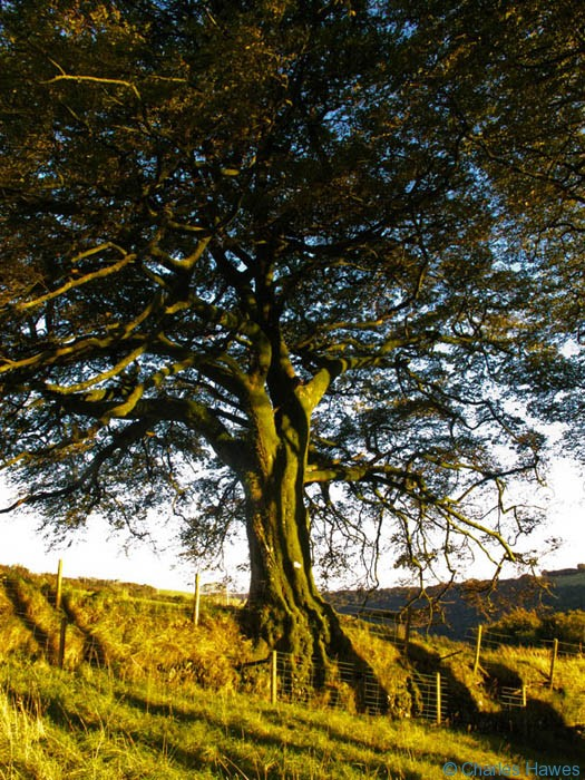 Large Beech growing on the top of a field boundary near Ashway Hat Wood, Exmoor, Somerset, photographed by Charles Hawes