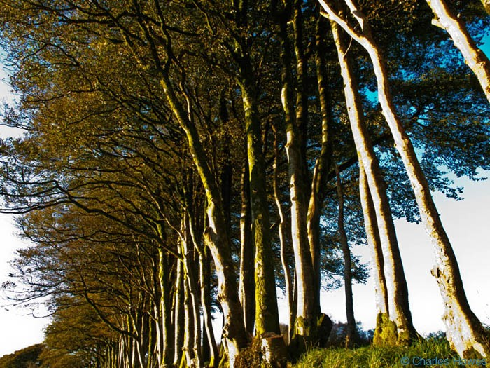 Beech hedge grown out as a line of trees on a field boundary near Ashway Hat Wood, Exmoor, Somerset, photographed by Charles Hawes