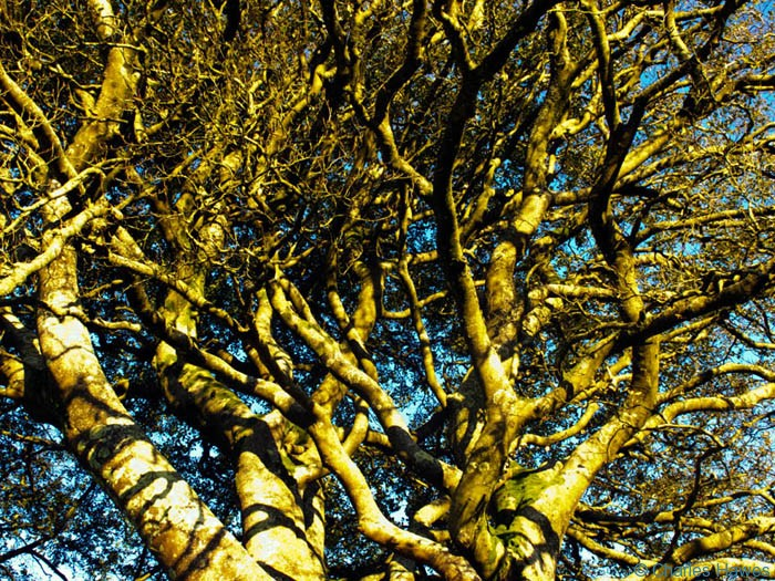 Canopy of a mature beech growing on field boundary near Ashway Hat Wood, Exmoor, Somerset, photographed by Charles Hawes