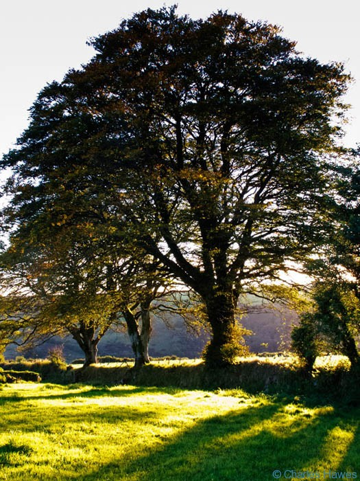 Several mature beeches growing on field boundary near Ashway Hat Wood, Exmoor, Somerset, photographed by Charles Hawes