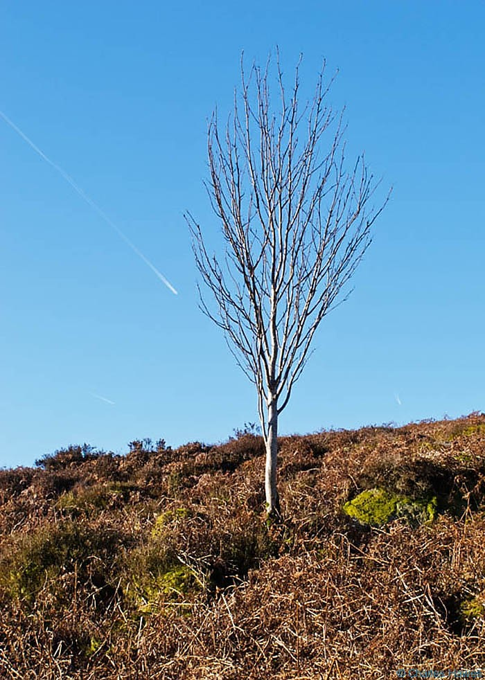 Isolated tree growing on the side of Blorenge, photographed by Charles Hawes. Walking in Wales.