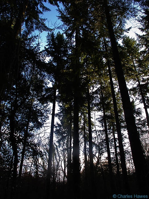 Conifers in Fedw Wood, near Devauden, Monmouthshire, Wales,photographed by Charles Hawes. Walking in Wales
