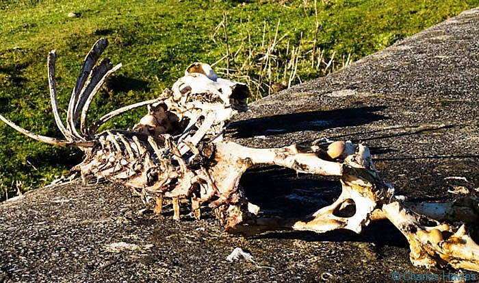 Skeleton of sheep on Mynydd Llangatwg, Powys, photographed by Charles Hawes