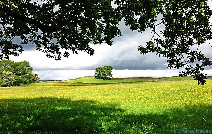 Buttecup filled meadow near Sedburgh on The Dales Way, photographed by Charles Hawes