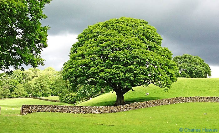 Mature Oak in fields on The Dales Way in The Lune Gorge, photographed by Charles Hawes