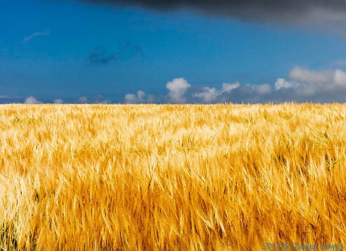 Field of Barley near Cwm Mawr photographed from The Wales Coast Path by Charles Hawes