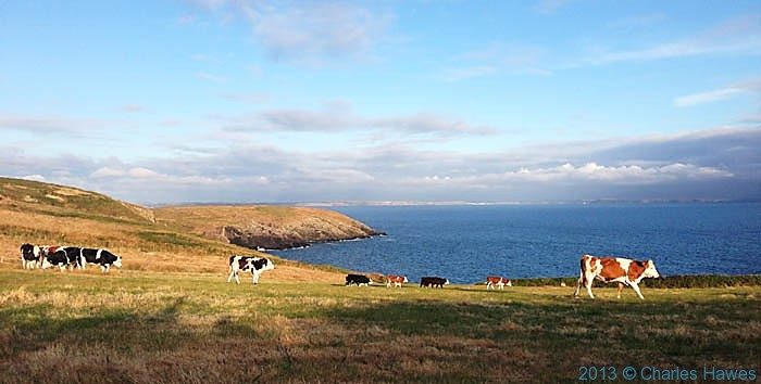 Cattle in field near St Non's Pembrokeshire, photographed from The Wales Coast Path by Charles Hawes
