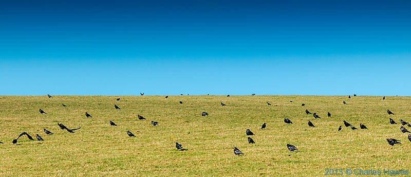 massed crows on the hillsideabove Newport Bay, Pembrokeshire, photographed from The Wales Coast path by Charles Hawes