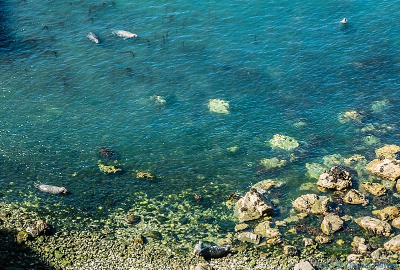 Seals  near Carreg Wastad Point, Pembrokeshire, photographed by Charles Hawes