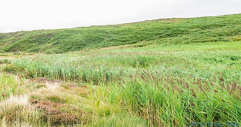 Reed bed near Carn Melyn, Pembrokeshire, photographed from The Wales Coast path by Charles Hawews