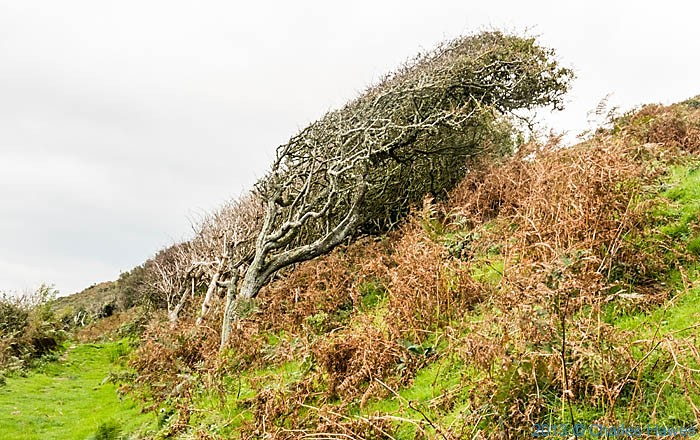 Windswept hedges above Aberarth photographed from The Wales Coast Path in Ceredigion by Charles Hawes