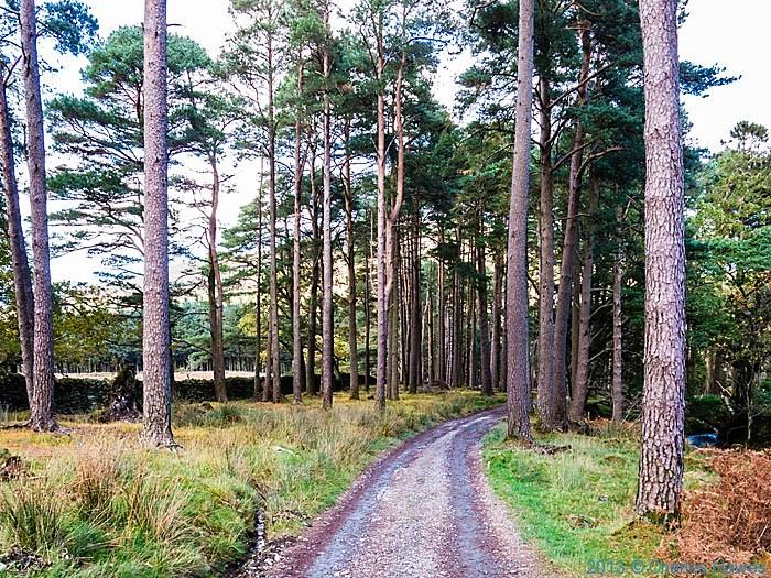 Pine wood outside Beddgelert, Snowdonia on path to Moel Heborg, photographed by Charles Hawes