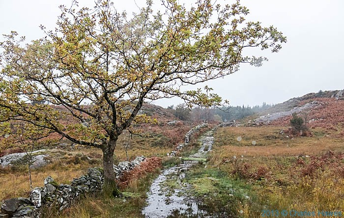 Oak tree by track lesading to Bwlchgwernog,near Nantmor Snowdonia, photographed by Charles Hawes
