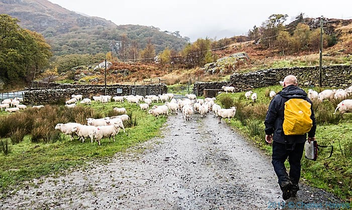 Sheep at Llyndy Isaf, near Beddgelert, Snowdonia, photographed by Charles Hawes