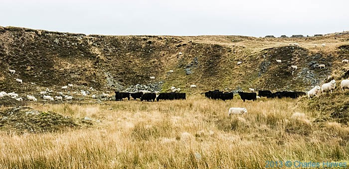 Sheep and cattle below Fan Gyhirych, photographed by Charles Hawes