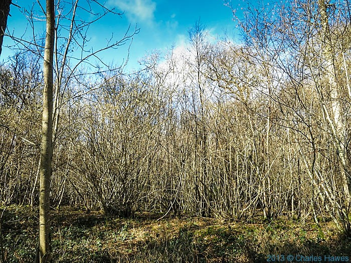 Coppice in Grovely Wods, Wiltshire, photographed by Charles Hawes