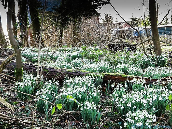 Snowdrops near grovely Lodge, Wiltshire, photographed by Charles Hawes