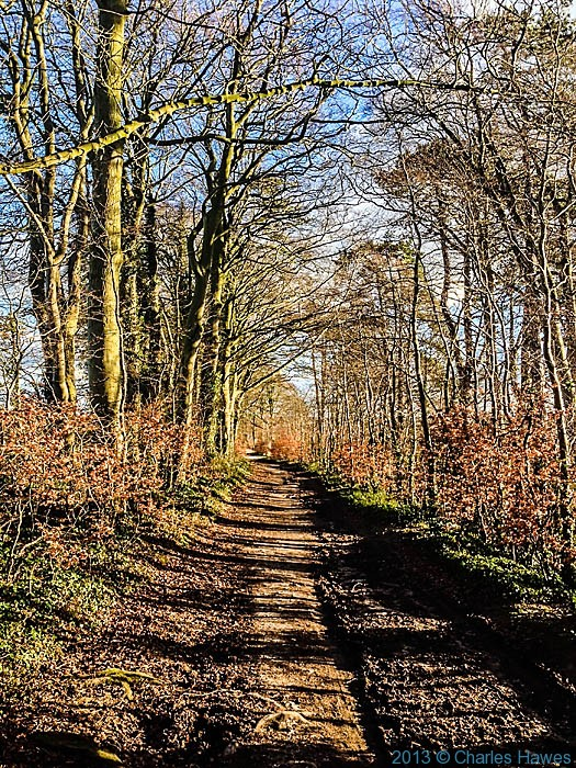 Beech avenue between Wilton and Grovely Woods,Wiltshire photographed by Charles Hawes