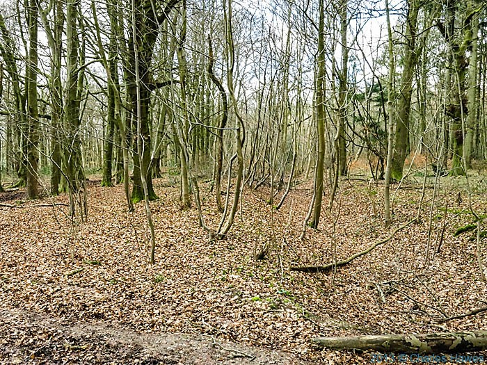 Grim's ditch, grovely Woods, Wiltshire, photographed by Charles Hawes