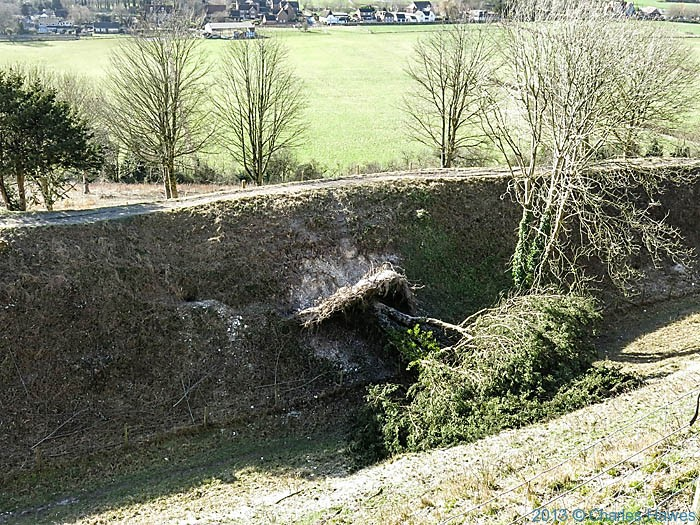 Yew tree blown down by gales on the ramparts of Old Sarum, photographed by Charles Hawes