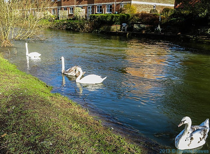 Swans on the swollen River Avon in Salisbury, photographed by Charles Hawes