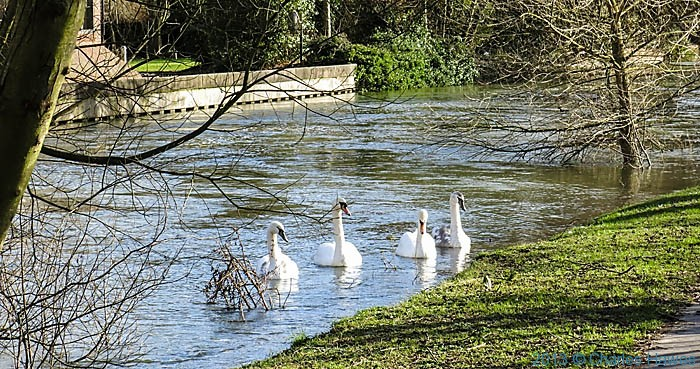Swans on the swollen river Avon in Wiltshire, photographed by Charles Hawes