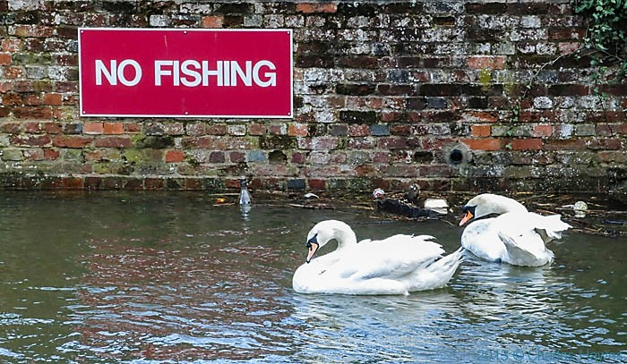 Swans on the Avon in Sailsbury, photographed by Charles Hawes