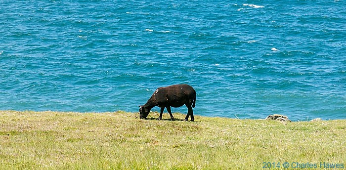 Black sheep above Porth Gwylan, photographed from The Wales Coast Path by Charles Hawes