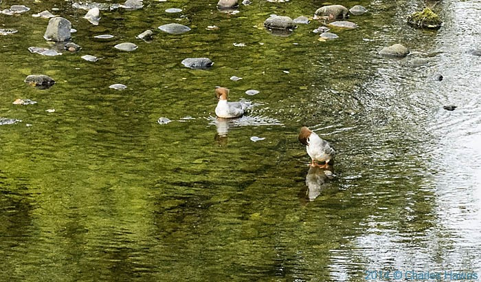 Ducks on the river Dee at Barth Bridge, Cumbria, photographed by Charles Hawes