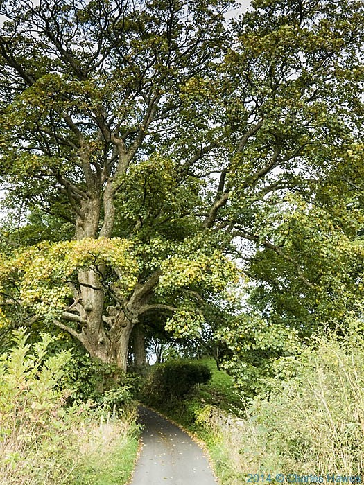 Sycamore on the High Dales Way, Cumbria, photographed by Charles Hawes