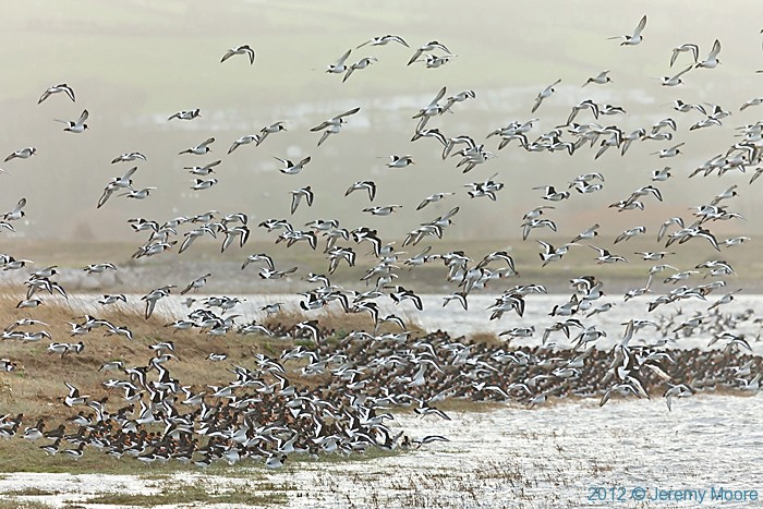 Oystercatchers at the Point of Ayr photographed by Jeremy Moore in Wales at the Water's Edge