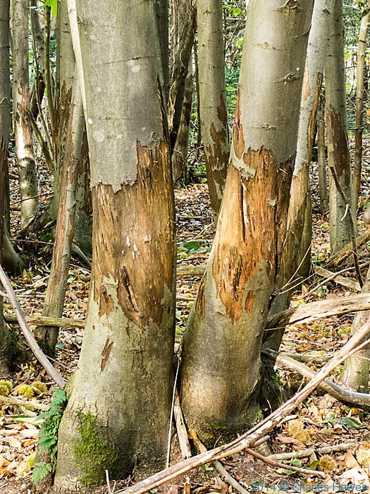 Deer damage to Chestnut Coppice near Canterbury, photographed from the North Downs Way by Charles Hawes