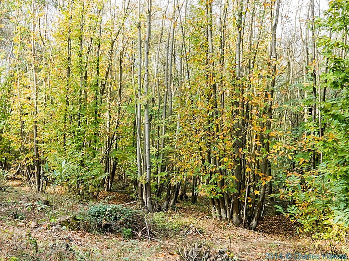 Chestnut coppice near canterbury, photographed from The North Downs way by Charles Hawes