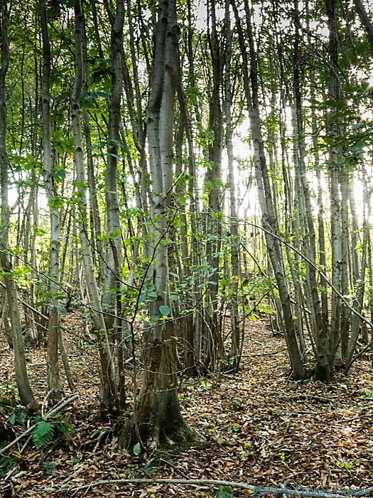 Chestnut Coppice near canterbury, Kent, photographed from The North Downs way by Charles Hawes