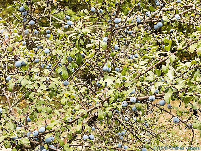 Berries on Sloe photographed on the Lamole ring walk in Tuscany by Charles Hawes