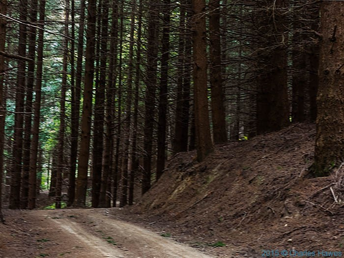 Conifer forest in Lamole ring walk, Chianti, Tuscany, photographed by Charles Hawes