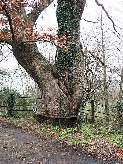 Oak tree with metal circular seat at Llanfoist, photographed from The Cambrian Way by Charles Hawes