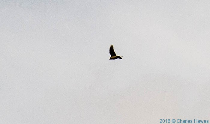Sky lark above the Cambrian way, in Monmouthshire, photographed by Charles Hawes