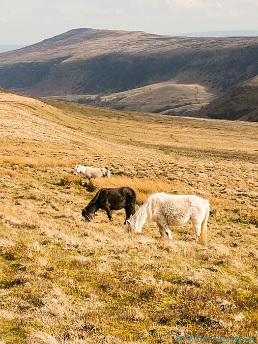 Wild Horses near Lord Hereford's knob, photographed from The Cambrian Way by Charles Hawes