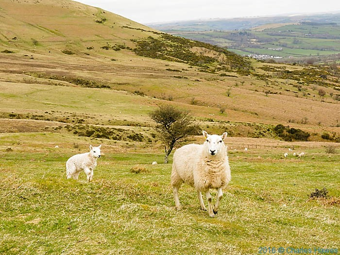 Sheep on lower slopes of Pen Y Fan, photographed by Charles Hawes