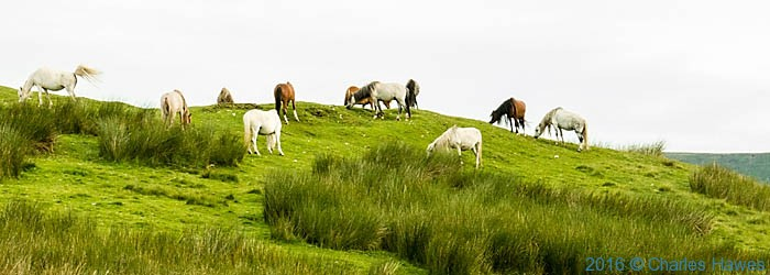 Wild horses on Bryniau Gleison, Brecon Beacons, photographed from The Cambrian Way by Charles Hawes