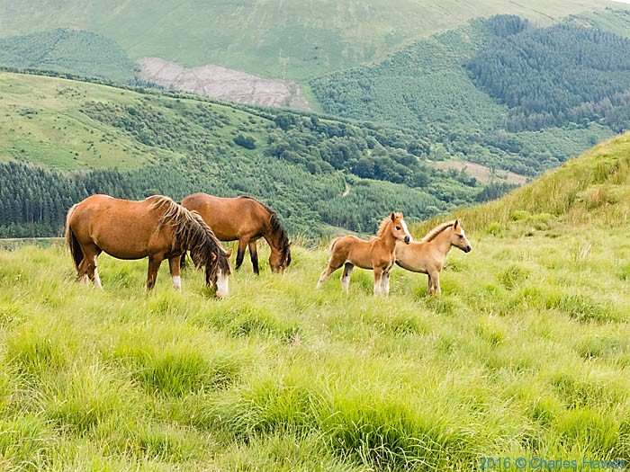 Wild horses on Bryniau Gleision, photographed from the Cambrian Way by Charles Hawes