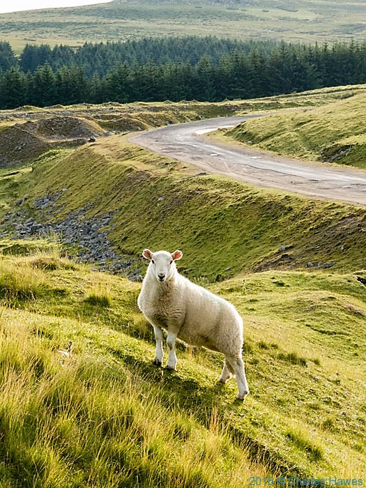 Sheep in the Brecon Beacons, photographed from The Cambrain way by Charles Hawes