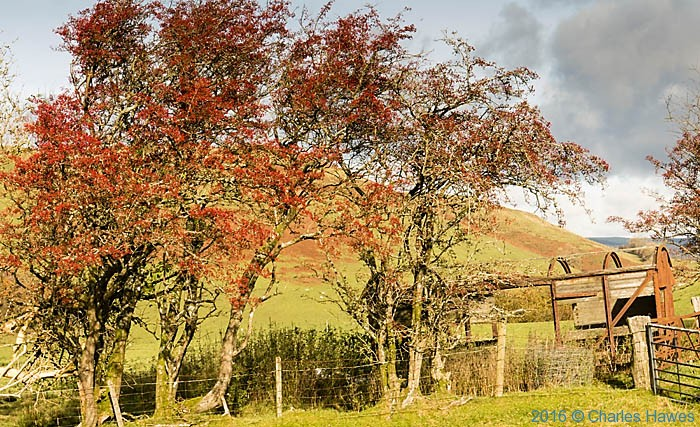 Hawthorns by the Cambrian Way north of Llandovery, Carmathenshire, photographed by Charles Hawes