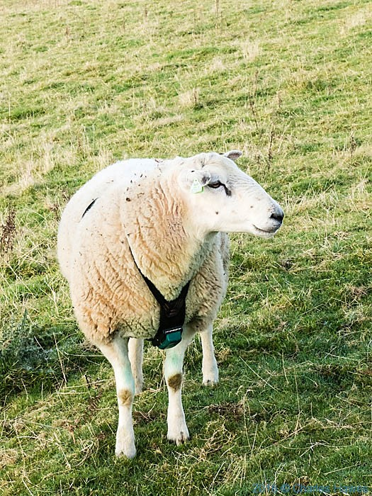 Ram in fields next to Cambrian Way north of Llandovery, Carmarthenshire, photographed by Charles Hawes