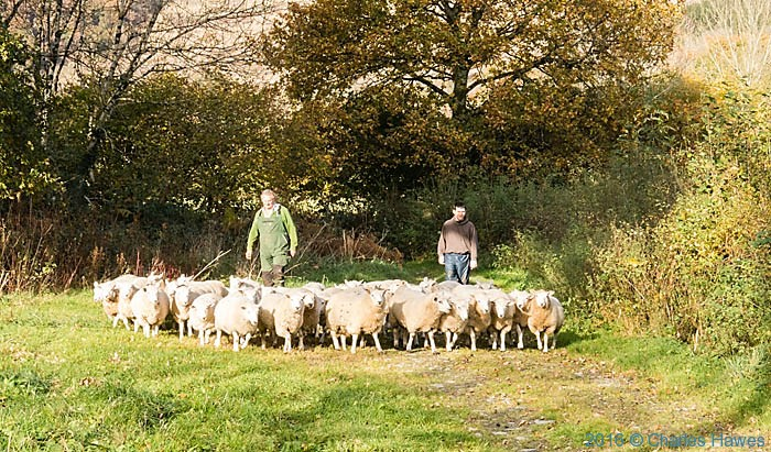 Sheep of Gwernpwll Farm near Rhandirmwyn, photographed from the Cambrian way by Charles Hawes